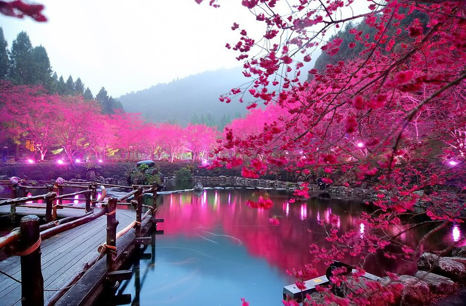 lighted-cherry-blossom-lake-japan
